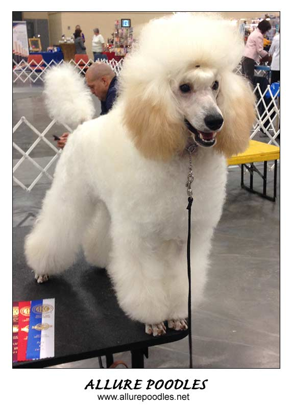 Poodle Breeders Standard Miniature And Toy Poodle Puppies